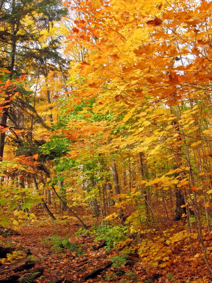 Sunny Day In Maple Forest Royalty Free Stock Images