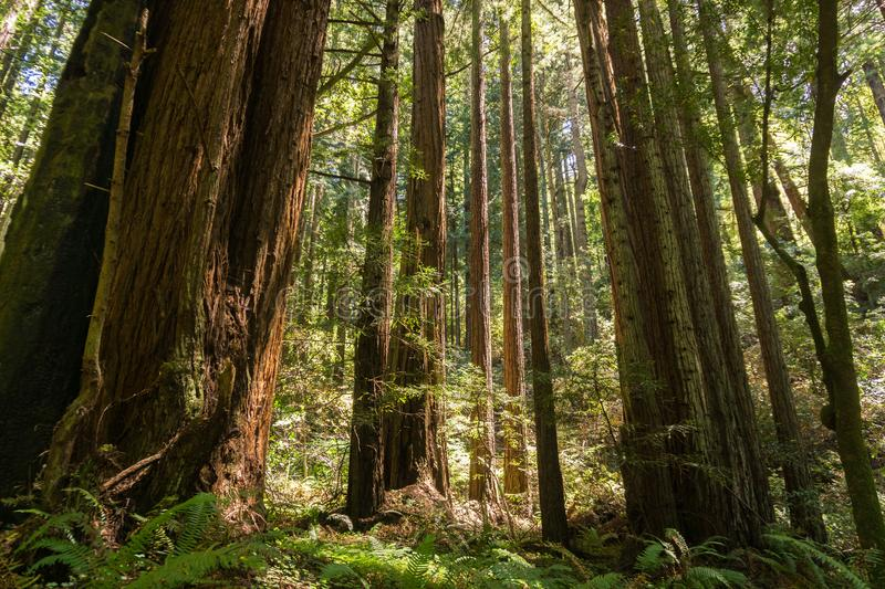 Sunny day in a redwood trees Sequoia sempervirens forest, California royalty free stock image