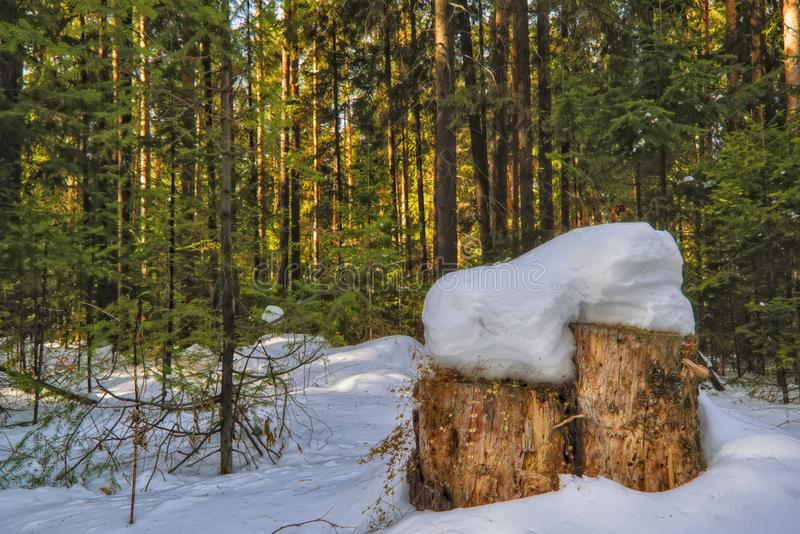 Sunny day in the snowy coniferous forest. Landscape of snow-covered winter coniferous forest royalty free stock image