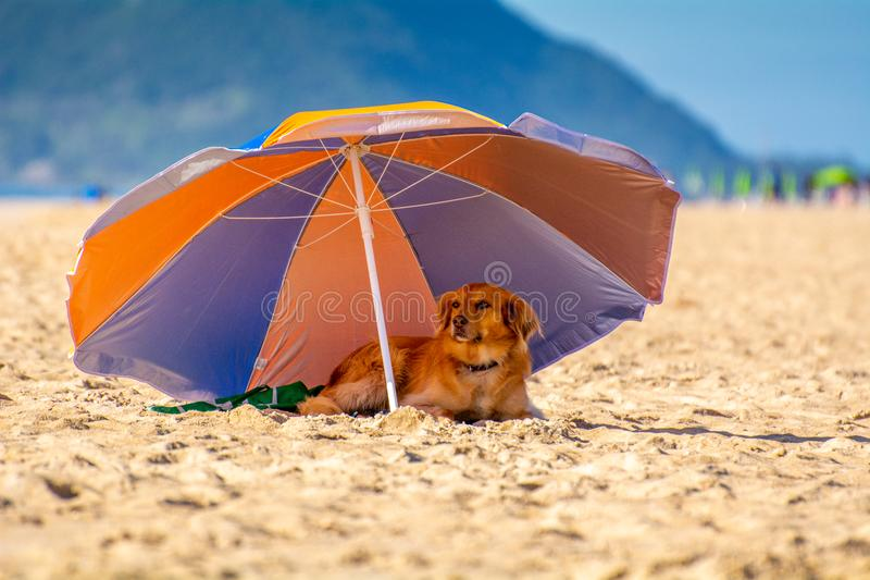 Dog rest in the shade of a beach umbrella in Florianopolis Brazil stock photo