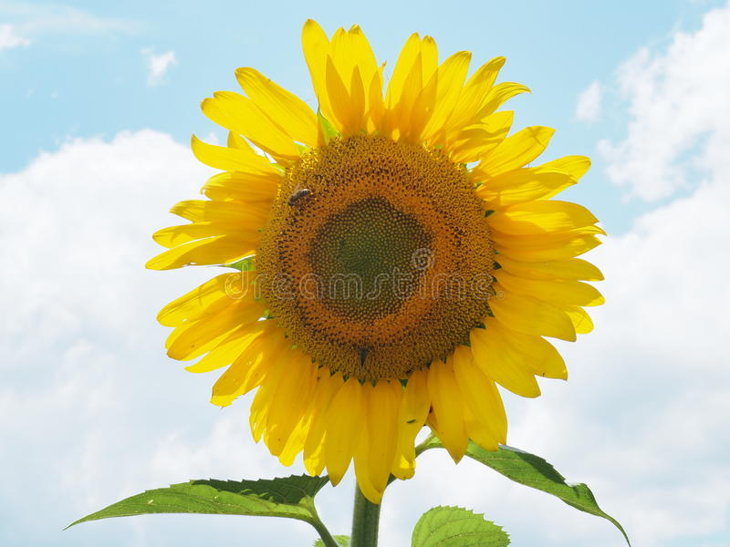 Sunny Day Sunflower photographie stock
