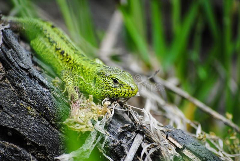 Green lizard in natural conditions royalty free stock photography