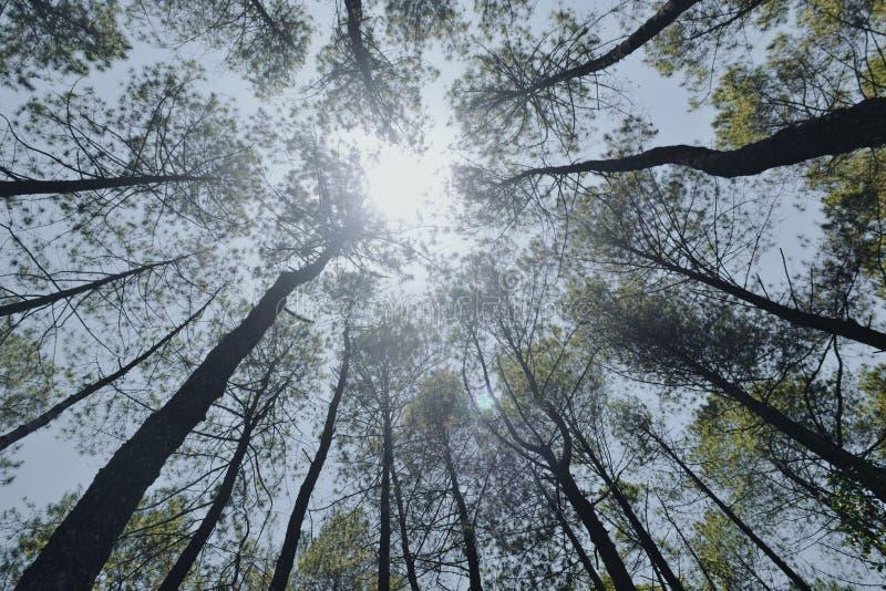 Sunny days under the pine trees stock photos