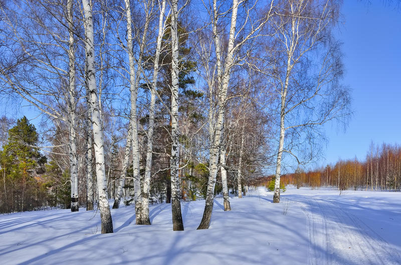 Sunny early spring day in the birches and pines forest. Bright blue sky and shadows on a snow, swollen buds of white birch trees painted in a reddish tint royalty free stock image