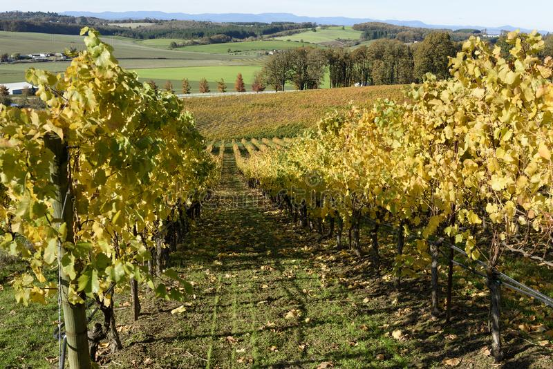 Sunny Fall Afternoon in Oregon Wine Country. Autumn Colors of Mid-Willamette Valley Vineyards royalty free stock image