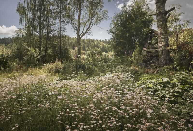 Sunny field of chamomile. Abandoned village in the background royalty free stock image