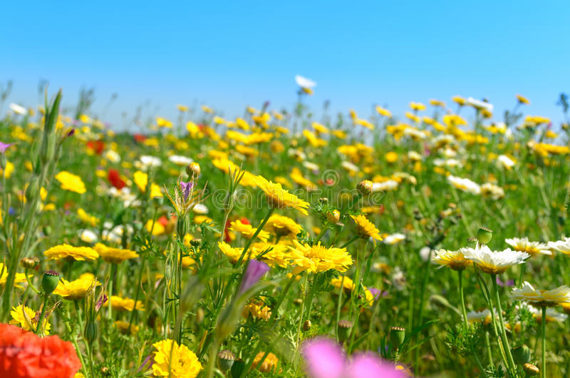 Sunny field of wild flowers royalty free stock photography