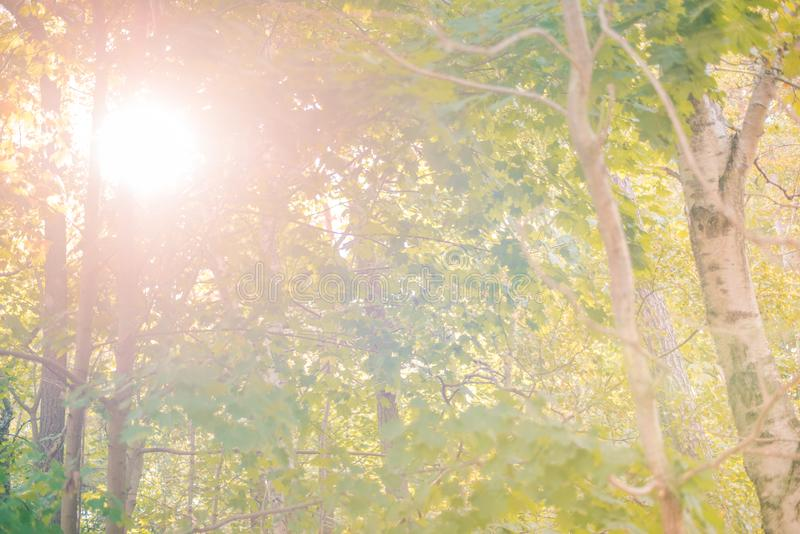 Sunny forest - bright rays of sun and green leaves. Summer stock image