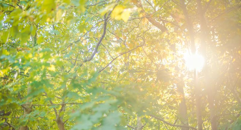 Sunny forest - bright rays of sun and green leaves. Forest royalty free stock image