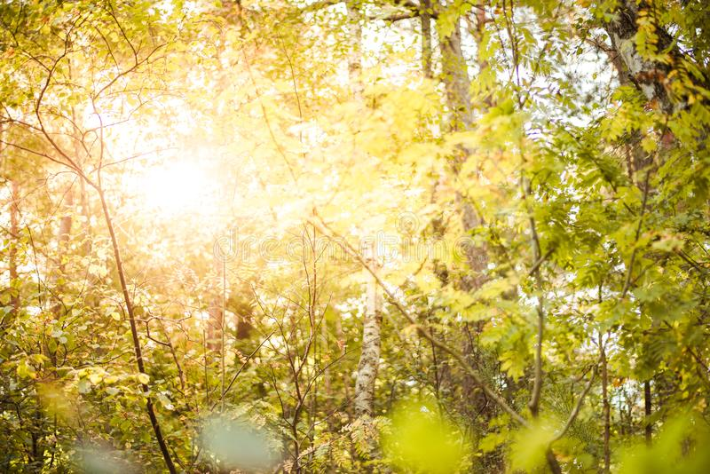 Sunny forest - bright rays of sun and green leaves. Summer season royalty free stock images