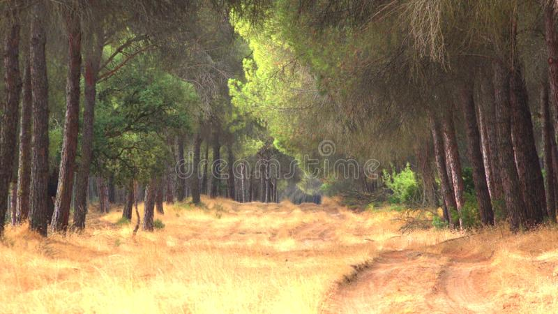Sunny Forest Path And Trees. A Sunny Forest Path And Trees stock images