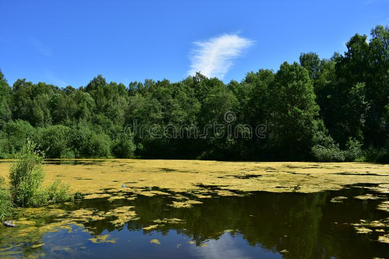 Sunny forest pond lake smooth water sky white clouds pond with forest thickets along the banks. Overgrown pond in the forest stock photos