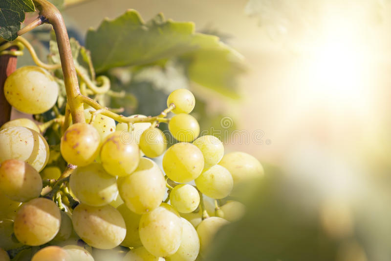 Sunny Grape jaune photo libre de droits