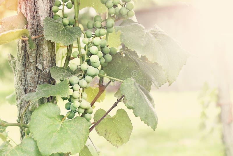 Sunny Grapes na videira fotografia de stock royalty free