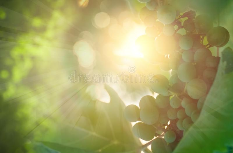 Sunny green background with grape vines and leaves.  stock images