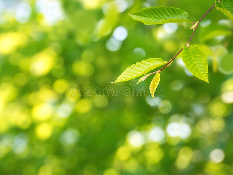 Sunny green elm tree branch spring background royalty free stock photo