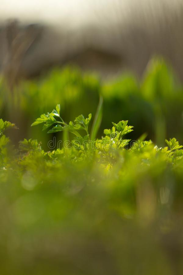 Sunny and green parsley on the farm royalty free stock photos