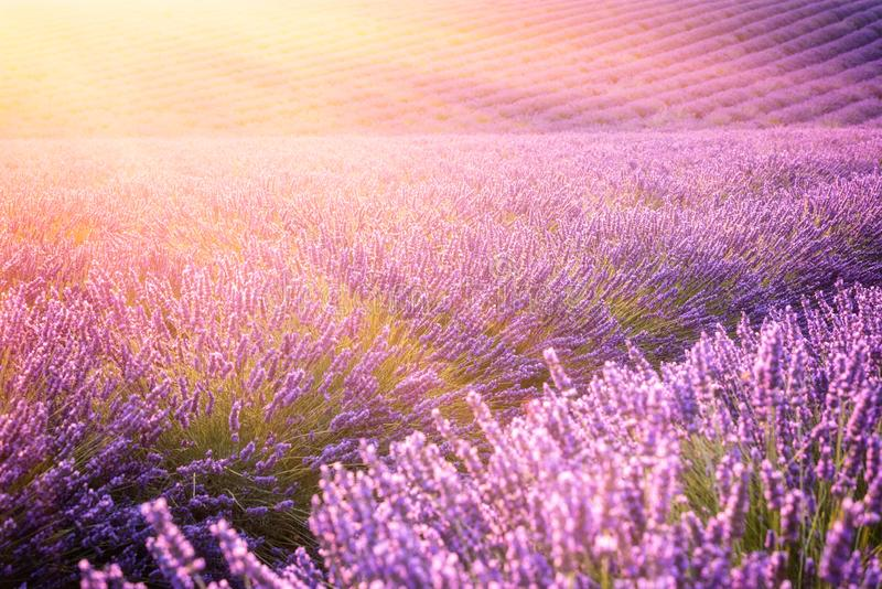 Sunny lavender field in Provence, Plateau de Valensole, France royalty free stock image