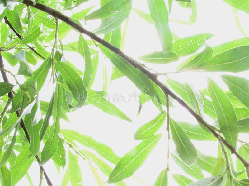 Sunny light with rays of light shines through bright green bright leaves on a branch of a willow tree. Sunny light with rays of light shines through bright green royalty free stock images