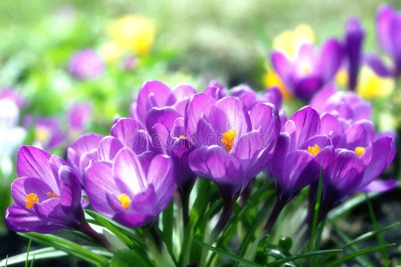 Sunny Lilac Crocuses Royalty Free Stock Photo