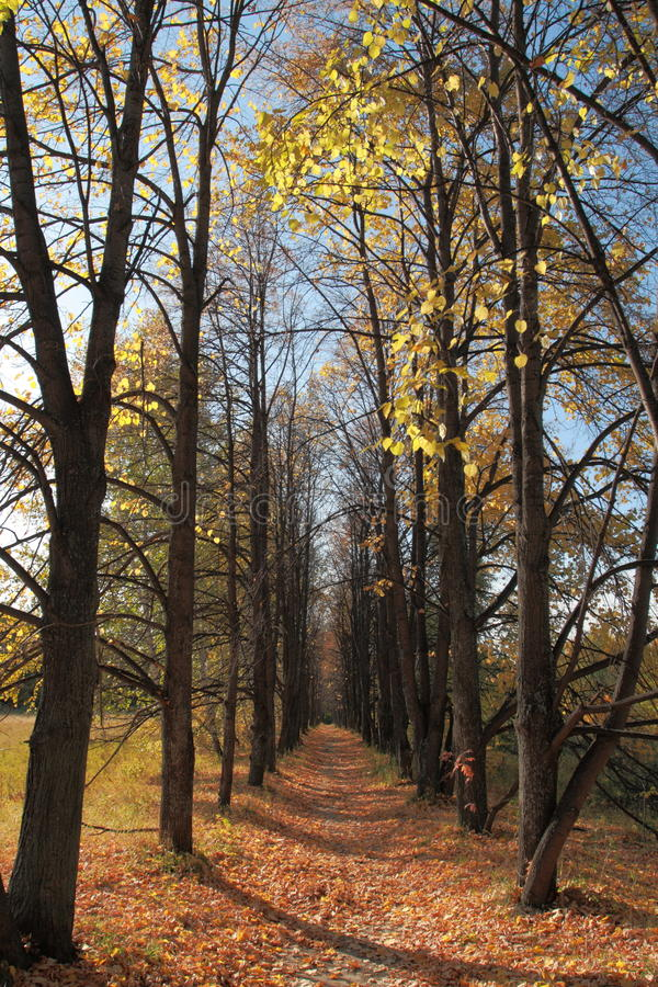 Download Sunny Linden Alley In September Stock Image - Image: 21635047