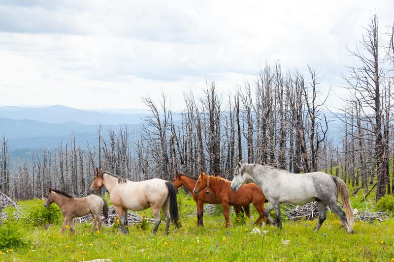 Sunny meadow  with Gray and brown horses running royalty free stock images