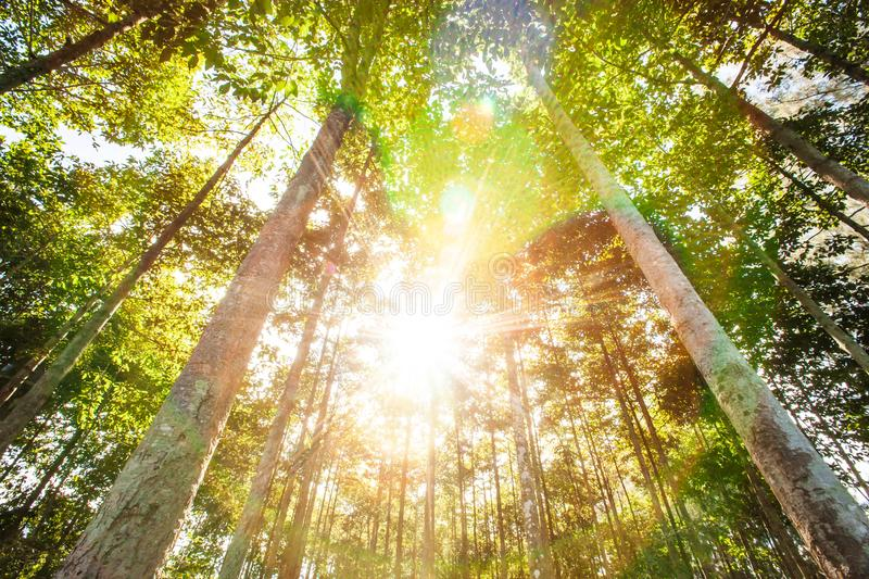 Sunny morning in the tropical forestry plantations in summer, bright sunbeam ray shining through the branches of trees. Agriculture, farming. Chachoengsao stock photo