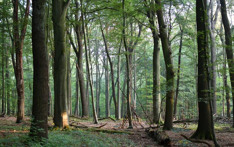 Sunny morning in the woods a forest with tree trunks. light, evergreen. stock image