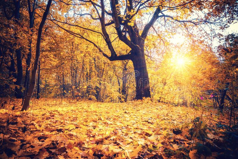 Sunny oak tree in autumn forest royalty free stock photo