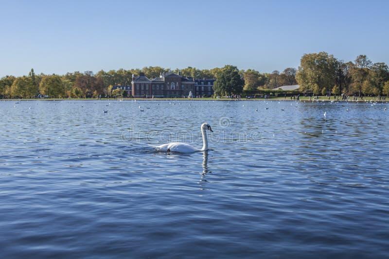 Sunny October in Hyde Park - blauwe wateren van een vijver en een zwaan stock foto's