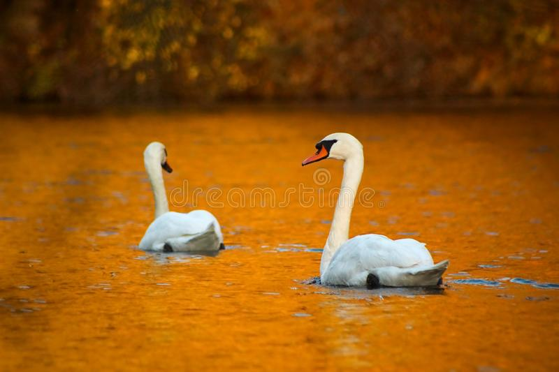 Autumn swans at the river royalty free stock photography
