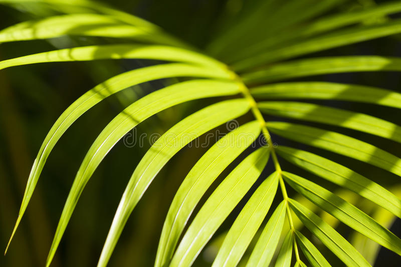Sunny palm leaf photo background. Green palm leaf in sunlight. Sunny day exotic nature wallpaper. Tropical island summer. Vacation in tropics banner template royalty free stock photography