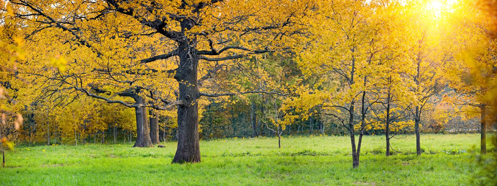 Sunny park with oak stock images