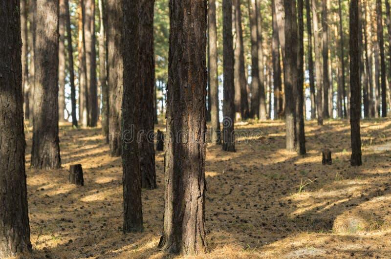 Sunny Pine Forest In Autumn Boomboomstammen die Bergopwaarts kijken royalty-vrije stock foto
