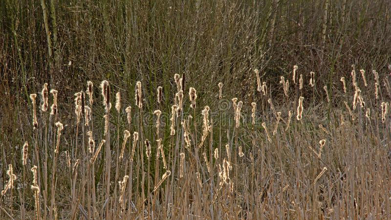 Sunny reed an bare shrubs stock image