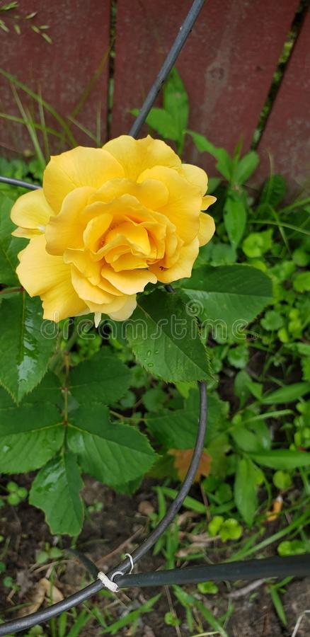 Sunny Rose Growing Happy imagens de stock royalty free