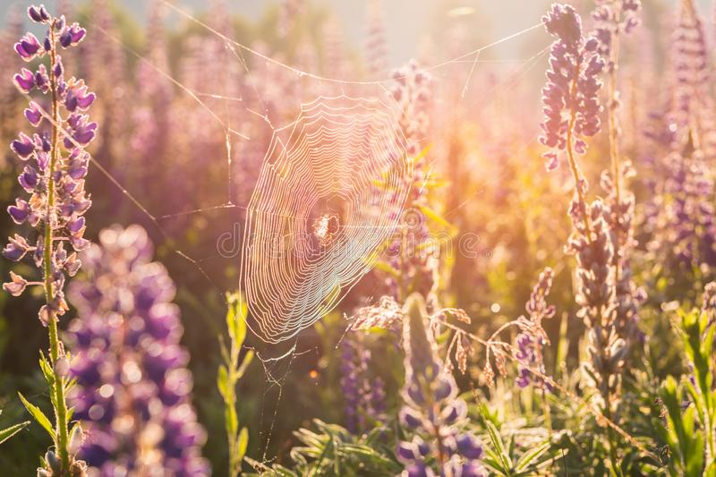 Sunny spiderweb with spider in the summer meadow of blossoming violet lupine flowers, natural background stock photography