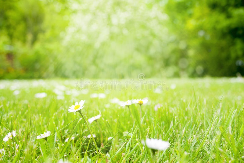 Sunny Spring Grass Meadow With Daisy Flowers royaltyfri bild