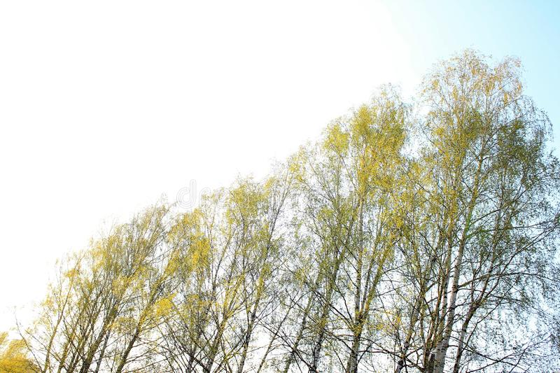 Sunny spring sky and birches. royalty free stock photography