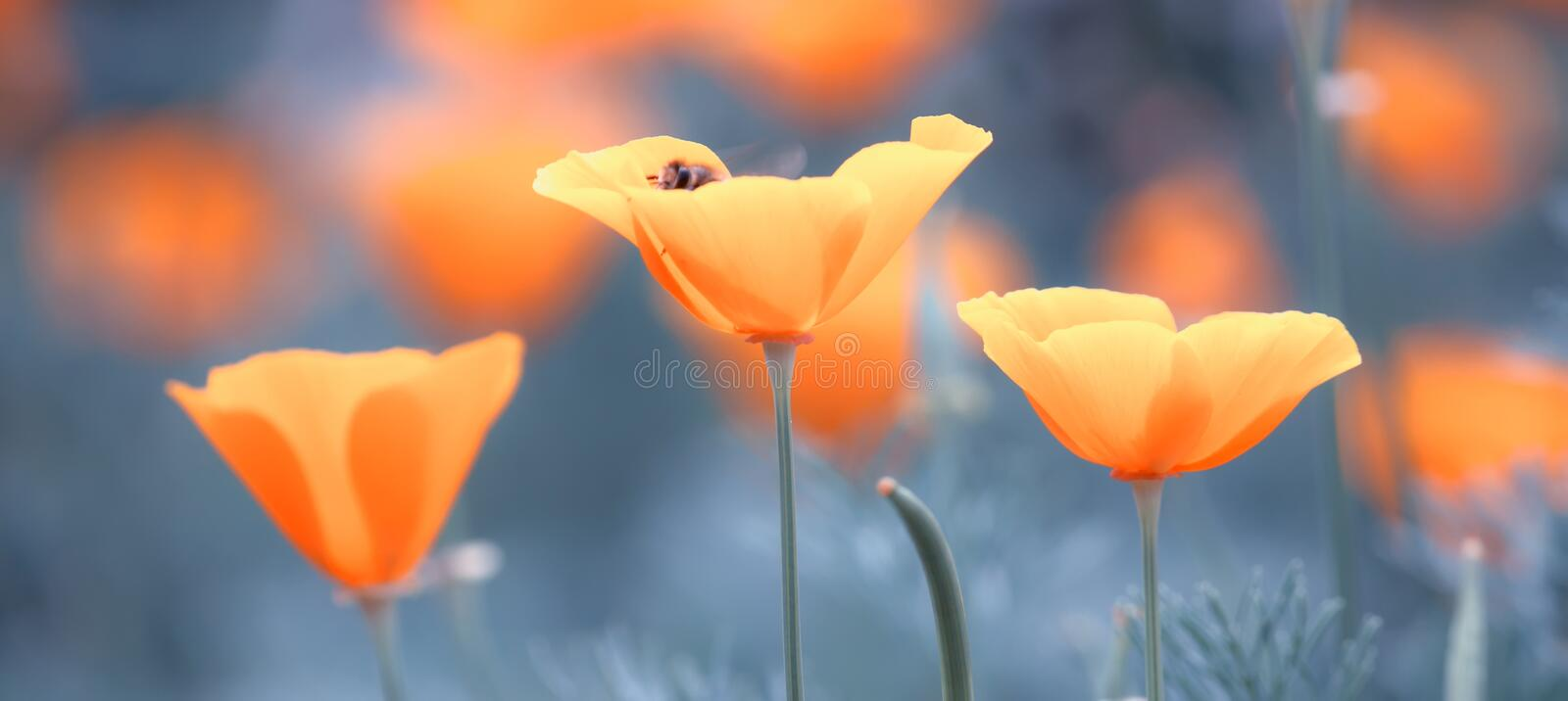 Sunny spring or summer pale blue landscape with orange flowers, blurred image selective focus stock photo