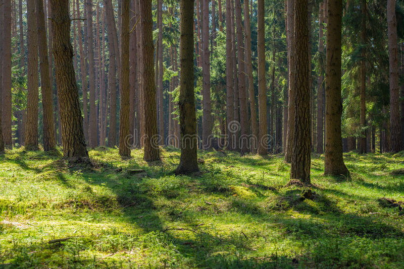 Sunny spruce pine tree forest park moss nobody royalty free stock photos