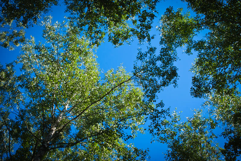 Sunny Summer birch forest royalty free stock photography