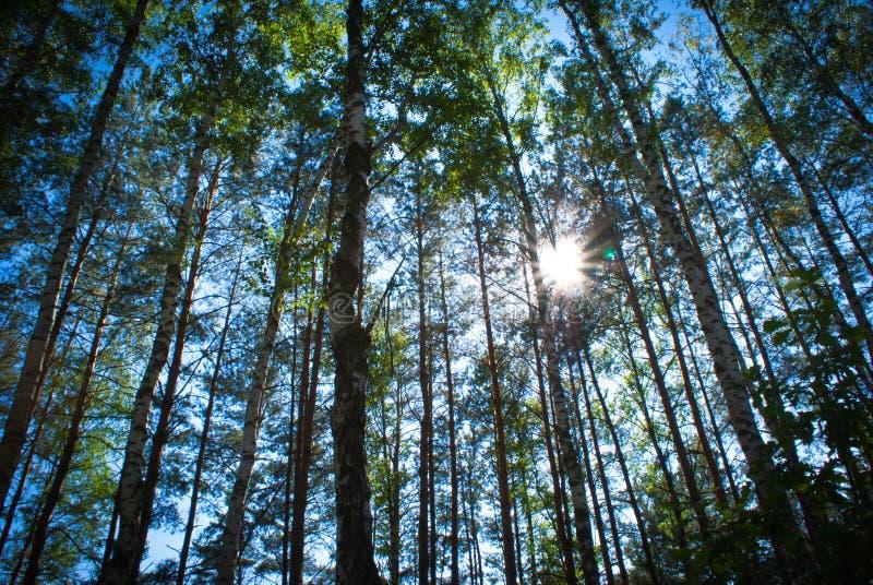 Sunny Summer-Birkenwald lizenzfreie stockbilder