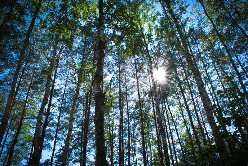 Sunny Summer björkskog royaltyfria bilder
