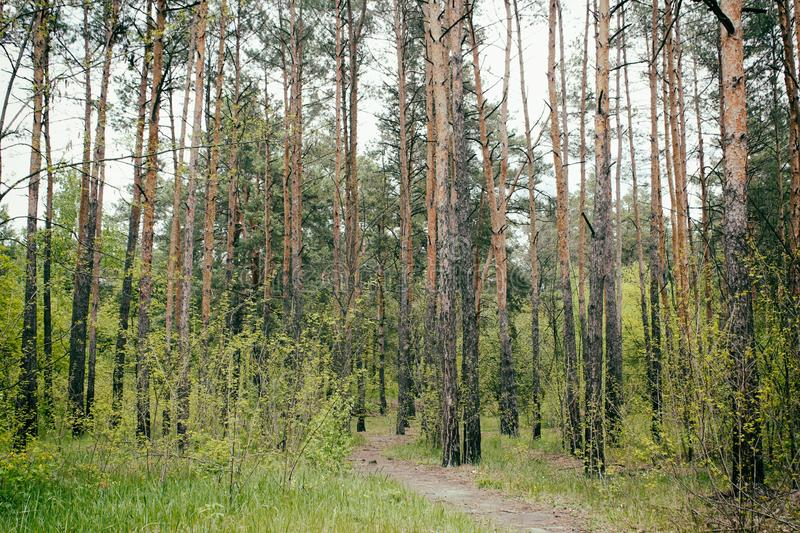 Sunny summer forest with green grass and trees royalty free stock photography