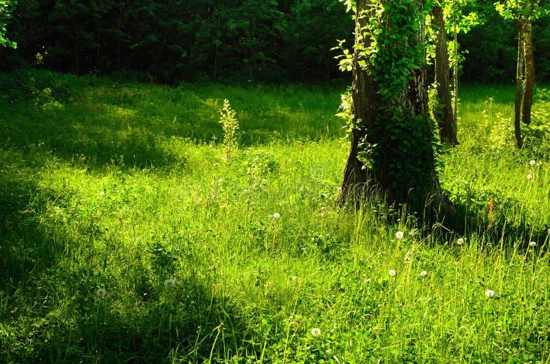 Sunny Summer Green Forest Glade stockfotografie