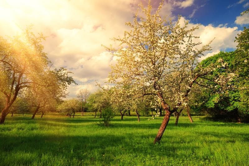 Sunny summer landscape. Bright sun rays on apple tree. stock photography