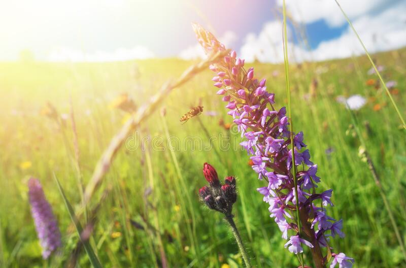 Sunny summer meadow. Blooming windflowers under sunshine stock photo