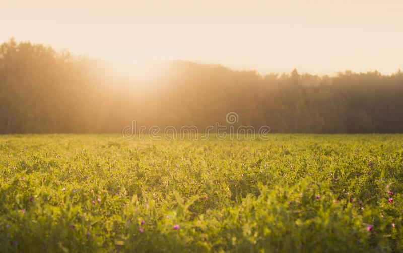 Sunny summer meadow with green grass and little flowers at sunset. Beautyful field view royalty free stock image
