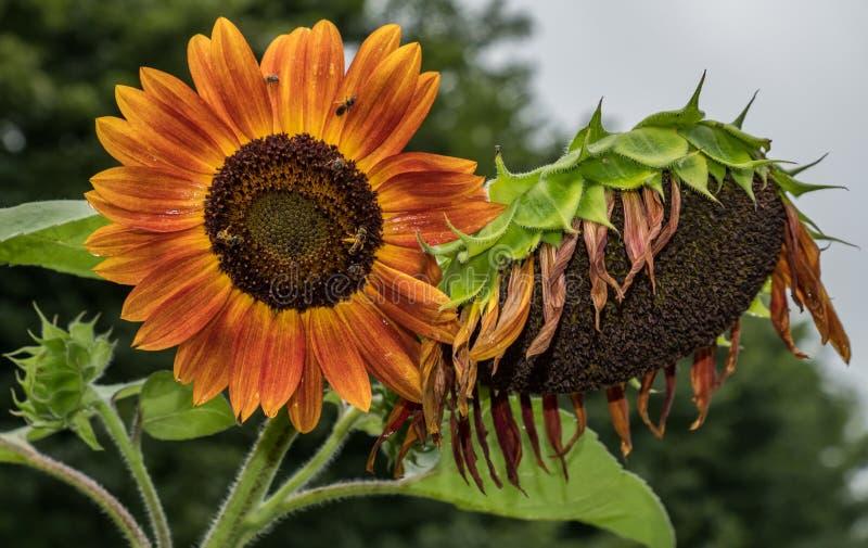 Sunny sun flower stock images